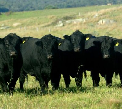 Dulverton Bulls & Females