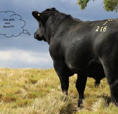 2015 Sale Bull Gallery