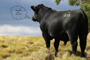 2015 Bull Sale